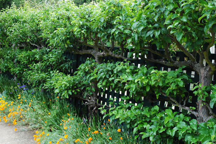 Image of: Espaliered Apple Trees for Fence