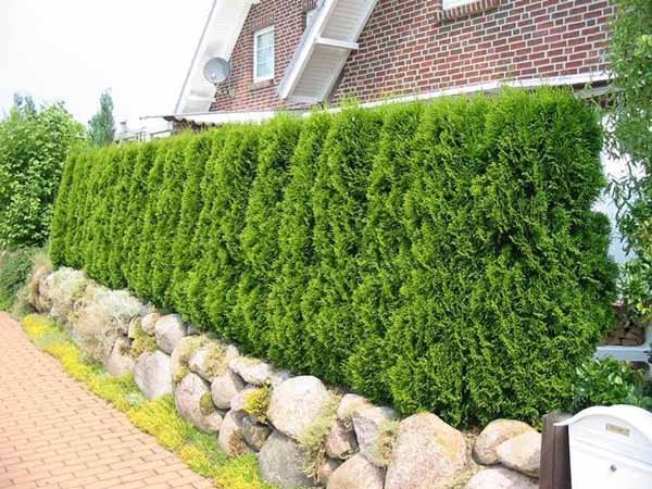 Image of: Green Fence Hedge Design