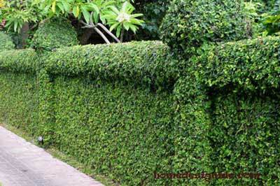 Image of: A Hedge Natural Fence