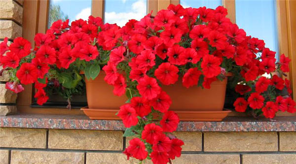 Image of: Bright Red Flowers in The Window