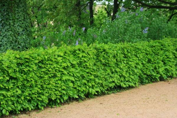 Image of: Living Fence for Natural Garden
