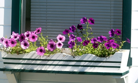 Image of: Petunias