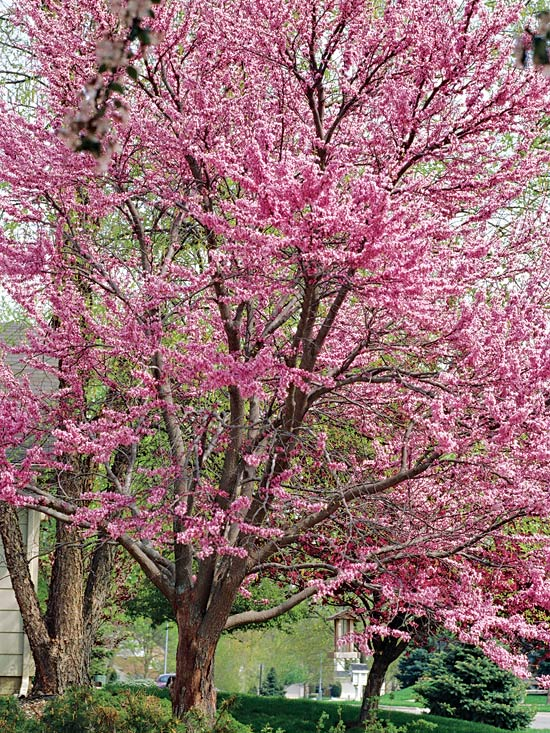 Image of: Redbud