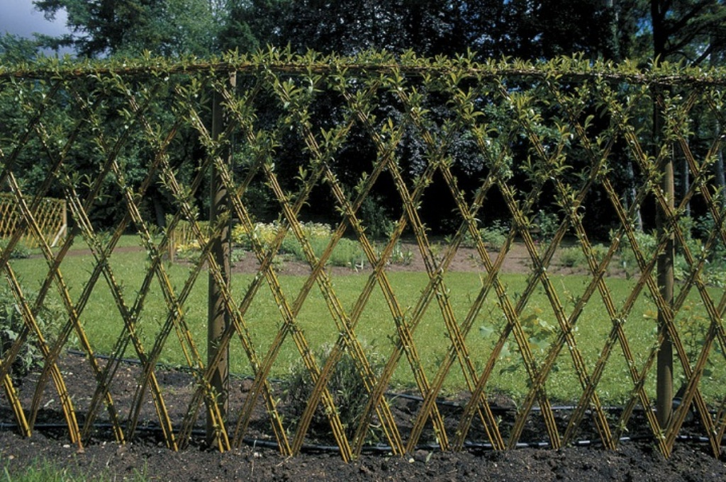 Image of: Living Fence Willow